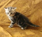 Британские короткошерстные котята великолепных породных качеств