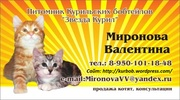Котята Курильского бобтейла (г. Иркутск)