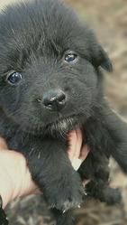 Красивые щенки,  1 мес,  для дружбы или охраны