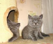 Продаются шикарные британские котята